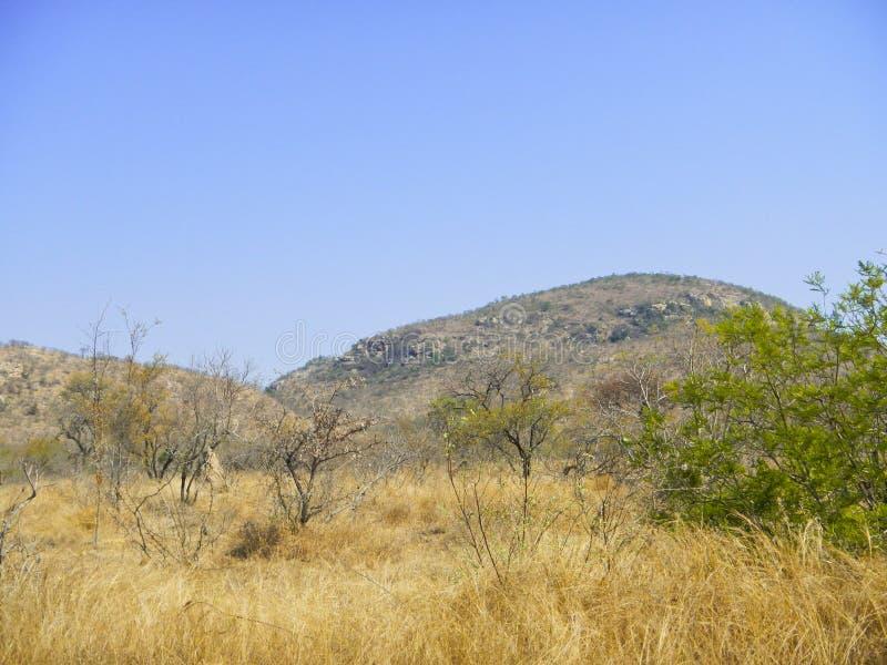 Torr savannah och blå himmel, Kruger, Sydafrika fotografering för bildbyråer