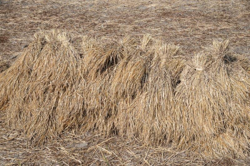 Torr sugrörtexturbakgrund i risfältet arkivfoton