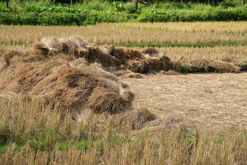 Torr sugrörtexturbakgrund i risfältet fotografering för bildbyråer