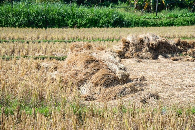 Torr sugrörtexturbakgrund i risfältet arkivbilder
