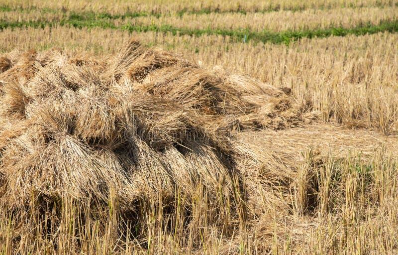 Torr sugrörtexturbakgrund i risfältet royaltyfria bilder