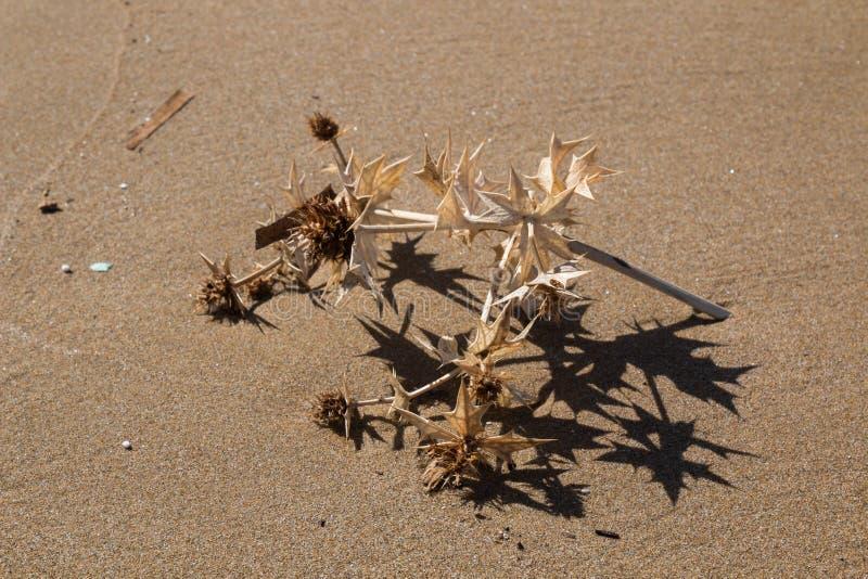 Torr växt på stranden fotografering för bildbyråer