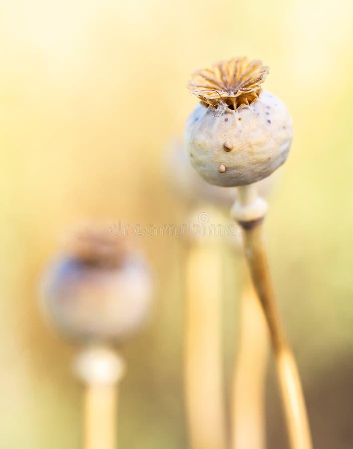 Torra blommaknoppar med defocused bakgrund arkivfoton