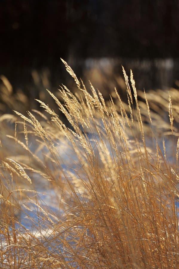 torra gräs royaltyfri bild