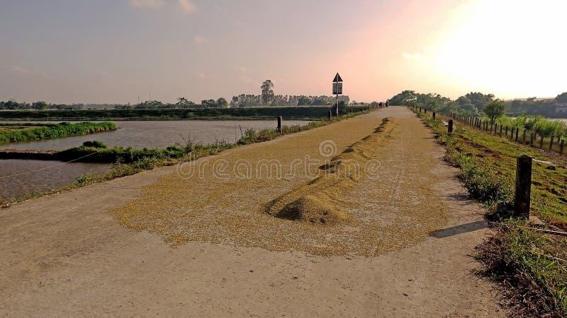 Torra gula mogna ris på diket i den soliga eftermiddagen arkivbilder