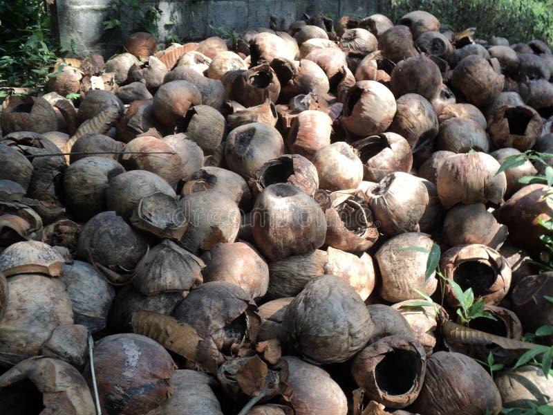 Torra högar av kokosnötfrukt arkivbild