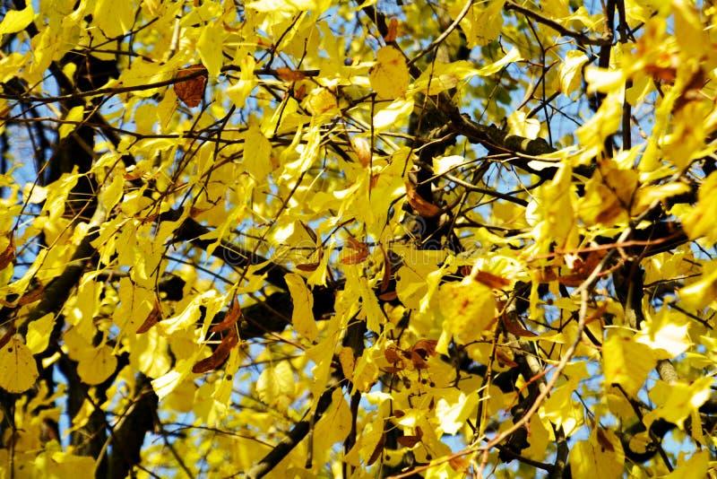 Torra höstsidor mot blå himmel, naturlig ekologihöstbakgrund royaltyfri bild