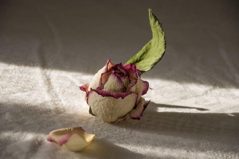 Torra krämiga rosa färgrosor med gröna sidor livstidsromantiker fortfarande Herbarium bukett royaltyfri foto