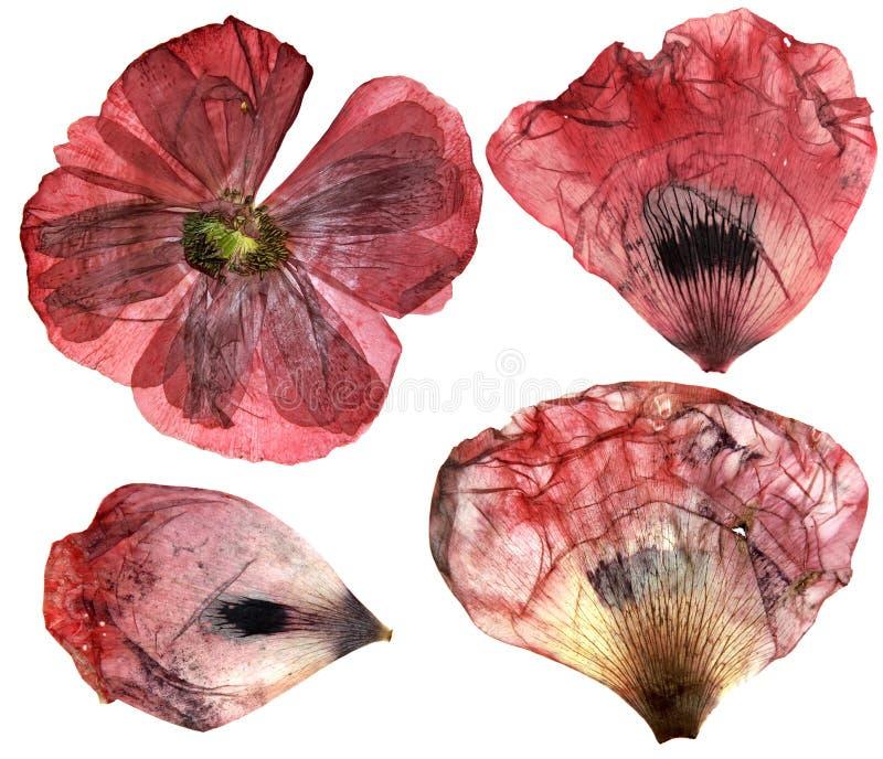 Torra pressande delikata blommor för vallmoperspektiv och kronbladiso royaltyfri foto