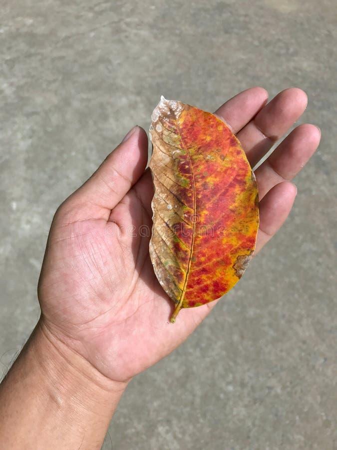 Torra sidor i hand, orange sidor vissnar, sidor, vintern som är global royaltyfri fotografi