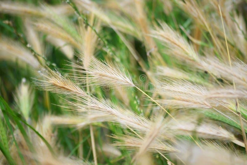 Torra spikelets av gräs på en grön bakgrund a royaltyfri foto