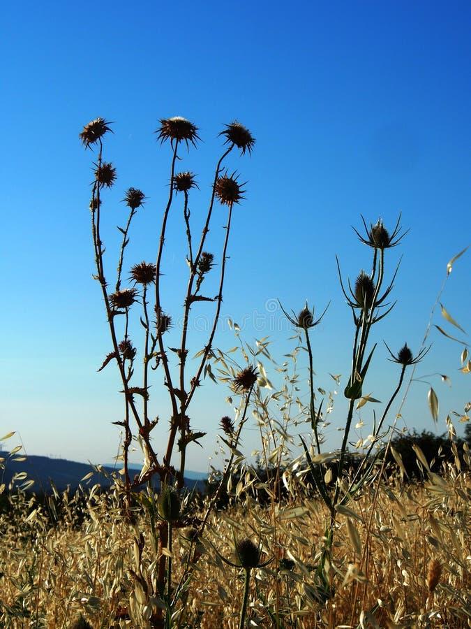 Torra tistelväxter i fältet royaltyfri fotografi
