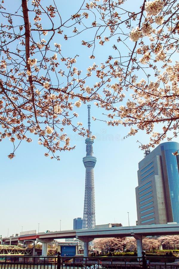 Torre de Tokio Skytree en Japón con las flores de cerezo imagenes de archivo
