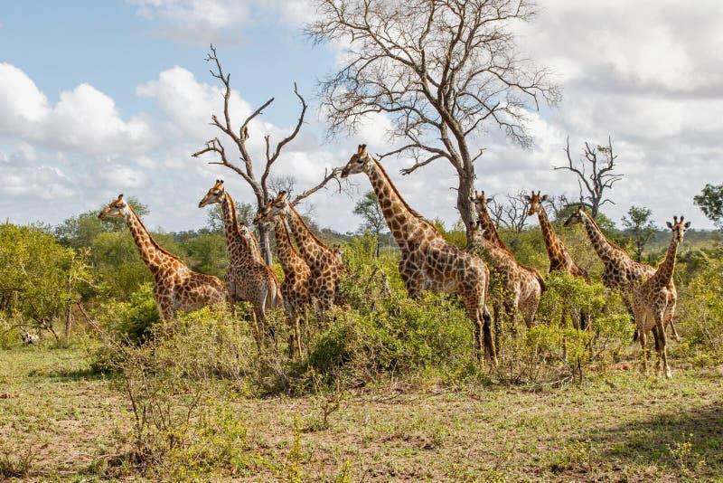 Torre della giraffa nel Sudafrica immagine stock libera da diritti