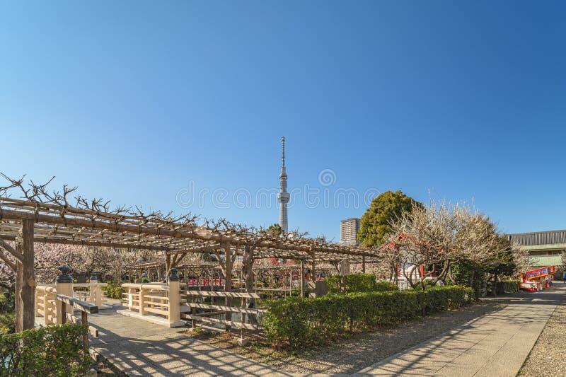 Torre Skytree de Tóquio e a wisteria pergola do santuário de Kameido Tenjin imagens de stock