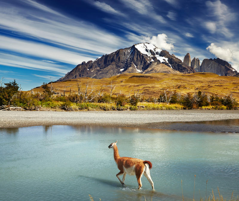 Torres del Paine National Park, Chile. Guanaco crossing the river in Torres del Paine National Park, Patagonia, Chile