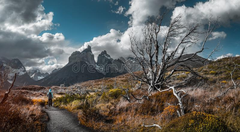 Torres del Paine National Park. Woman hiker walks on the trail among the burnt and dry trees with snow capped mountains on the background. Torred del Paine stock photography