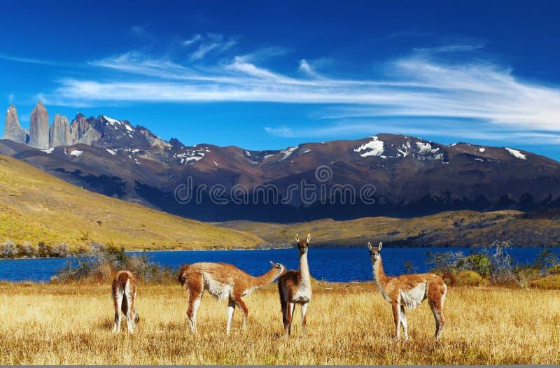 Torres del Paine, Patagonia, o Chile fotografia de stock royalty free