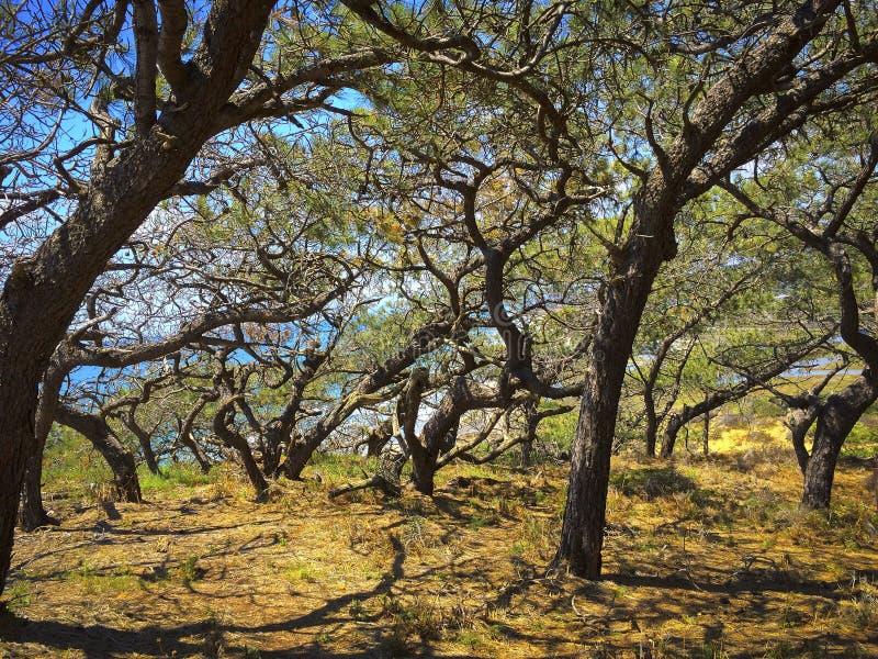Torrey Pines Trees, California royalty free stock photography