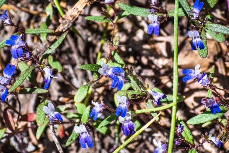 Torreyiwildflowers die van Mary Collinsia van Torrey blauw-eyed bij hoge hoogte, het Nationale Park van Yosemite, Sierra Nevada - stock afbeeldingen