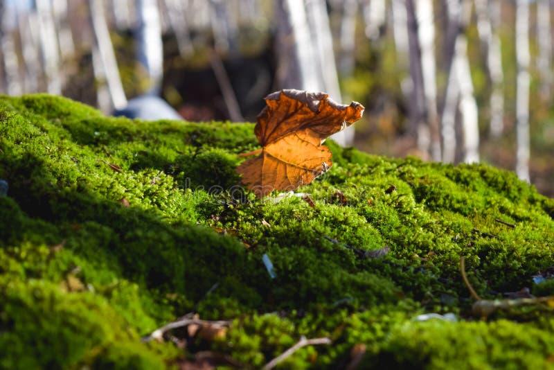 Torrt björkblad på grön mossa royaltyfri bild