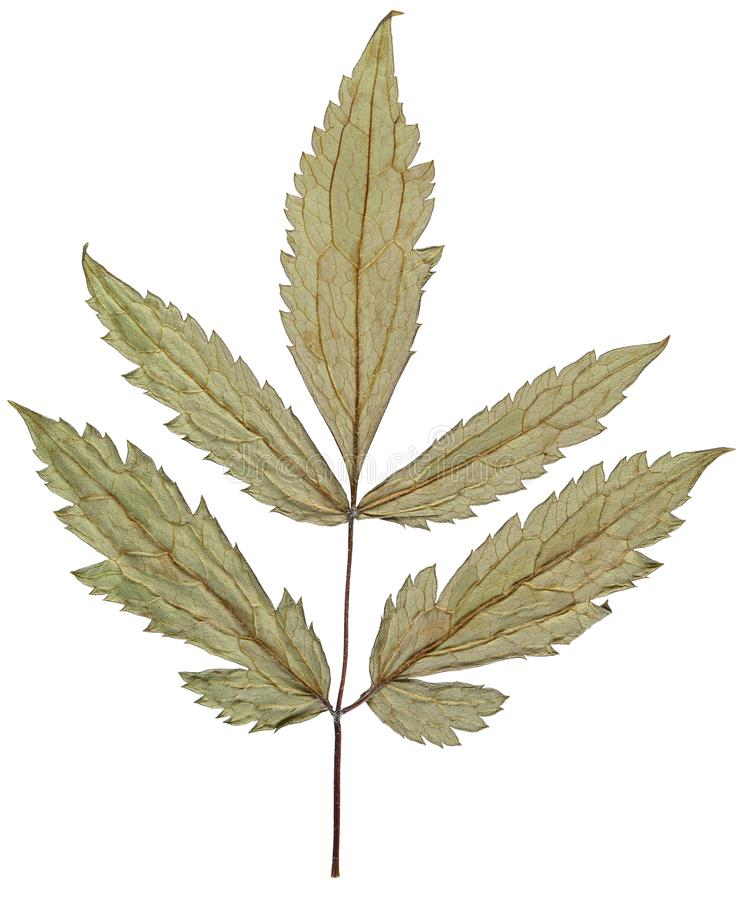 Torrt blad från herbariumen som isoleras på vit bakgrund arkivfoton