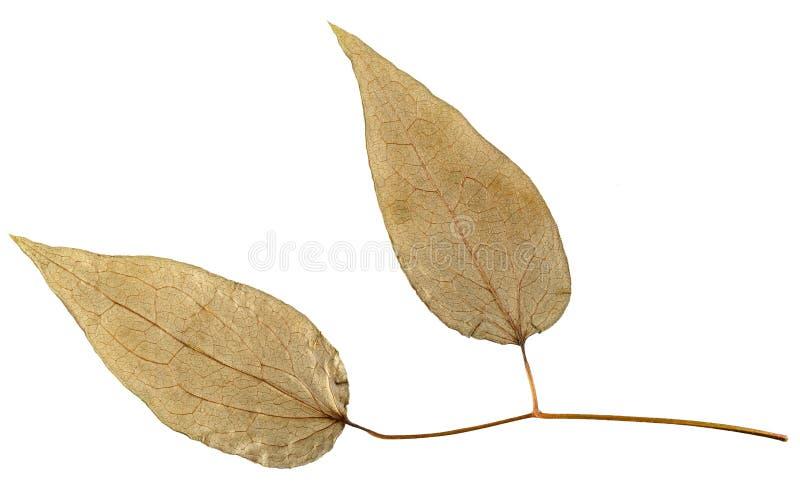 Torrt blad från herbariumen som isoleras på vit bakgrund royaltyfria foton
