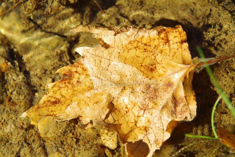 Torrt blad i genomskinligt vatten arkivfoto