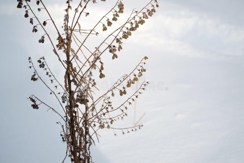 Torrt brunt gräs i vit snö Torra växter visas till och med lös snö arkivbild