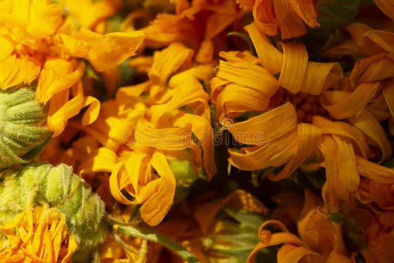 Torrt calendulafoto Calendulablomma, medicinört, calendulabakgrund, organisk växt Bakgrund av torra calendulablommor, dri arkivfoto