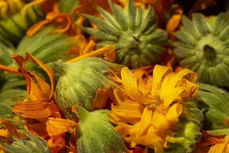 Torrt calendulafoto Calendulablomma, medicinört, calendulabakgrund, organisk växt Bakgrund av torra calendulablommor, dri arkivbild