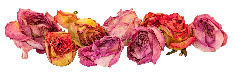 Torrt delikat steg blommor och sidor som isolerades på vit fotografering för bildbyråer