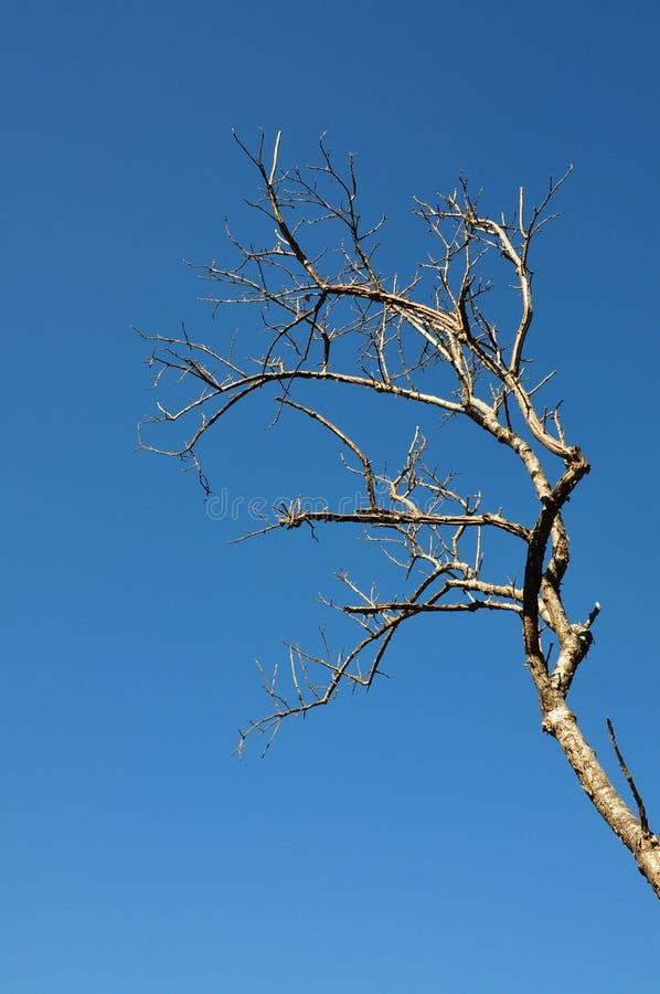 Torrt förgrena sig av tree arkivbild