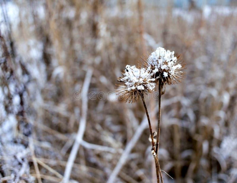 Torrt frö av kardborren täckas med frost i den sena hösten, makro royaltyfria bilder