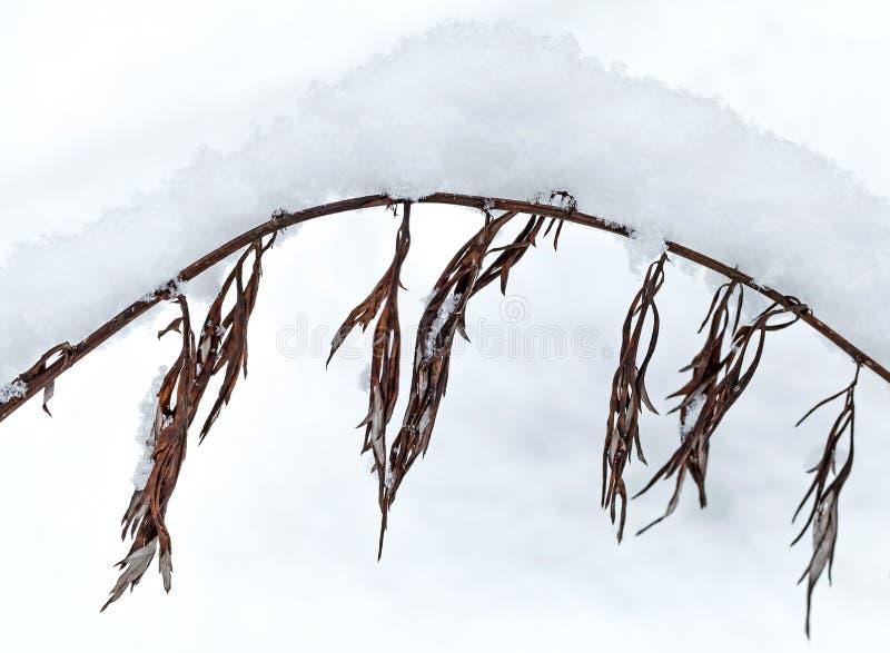 Torrt fryst gräs som täckas med snow royaltyfria foton