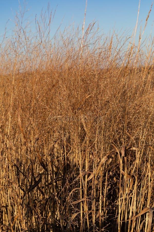 Torrt gräs i nedgången Gretna Nebraska arkivfoton