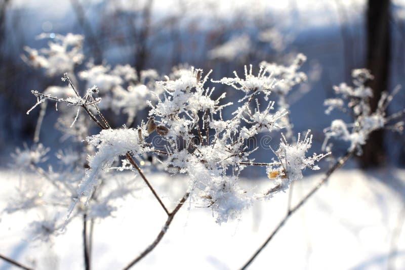 Torrt gräs som täckas med brusandekristaller av is och frost i skogen i en snödriva på en klar vinterdag royaltyfri bild