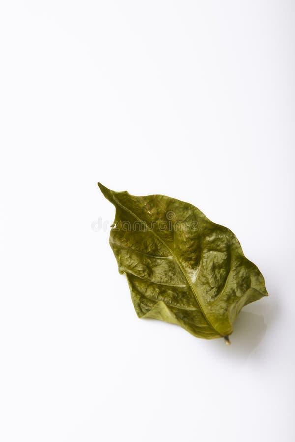 Torrt grönt bladblad för singel royaltyfri foto