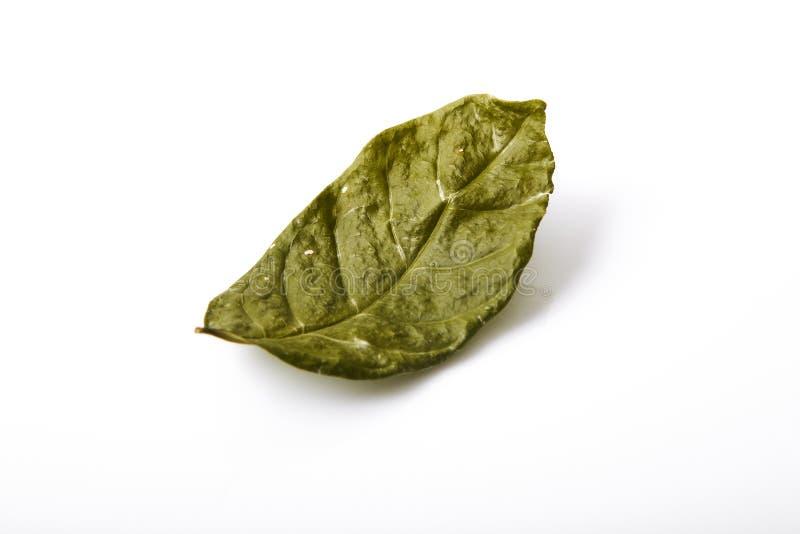 Torrt grönt bladblad för singel arkivbilder