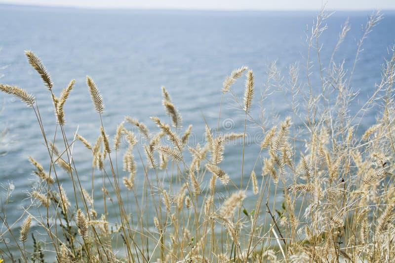Torrt gr?s f?r fokus, suddigt hav p? bakgrund, kopieringsutrymme Natur sommar, gr?sbegrepp fotografering för bildbyråer