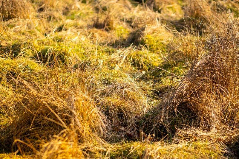 Torrt gult fältgräs arkivfoton