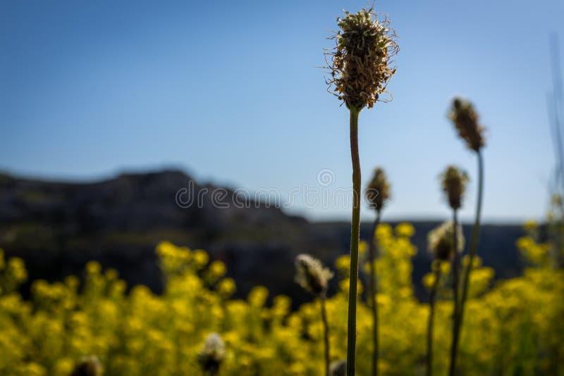 Torrt gult gräs blommar på äng i höstsoluppgång arkivfoto