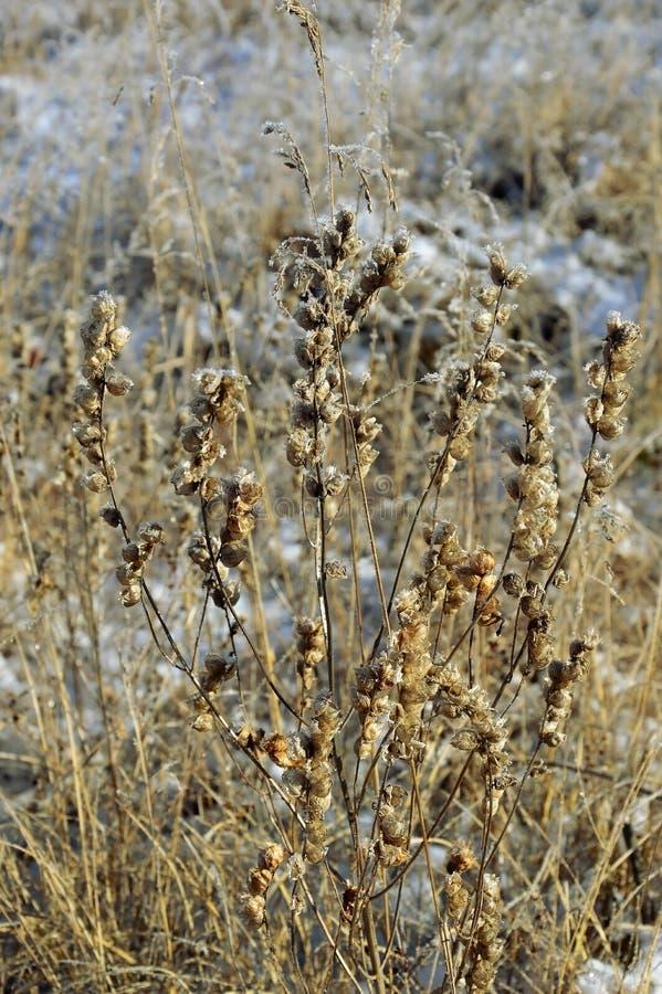 Torrt gult gräs i snö rime frost arkivbilder