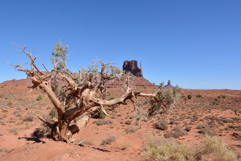 Torrt härligt träd på bakgrunden av sandstenmonoliten 'västra tumvante 'i monumentdalen royaltyfria foton