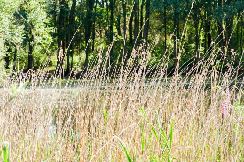 Torrt och högväxt gräs arkivfoto