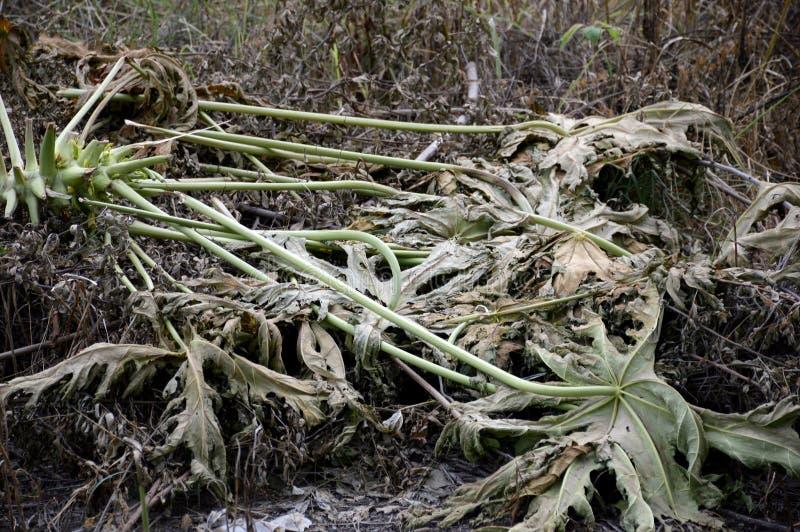 Torrt papayaträd på jordningen royaltyfri bild