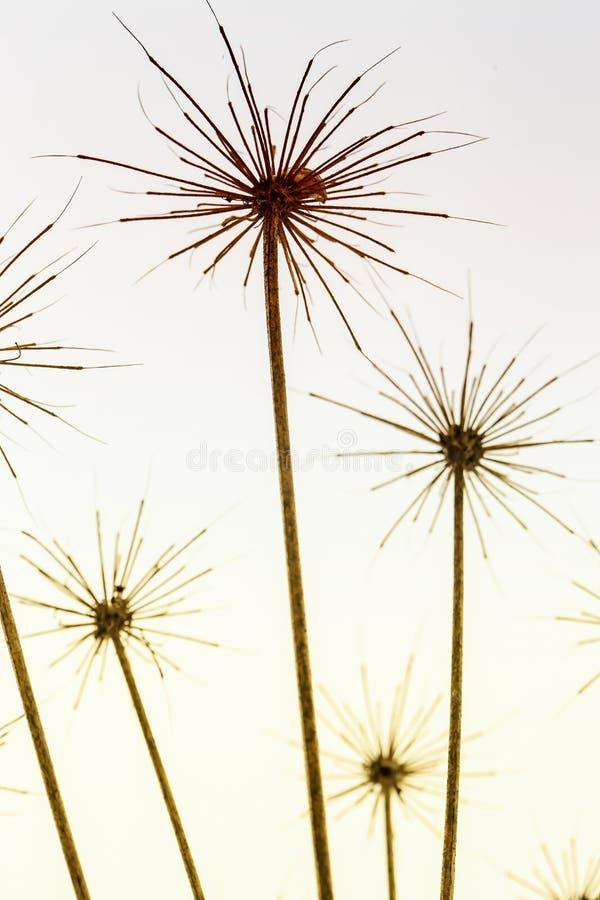 Torrt paraply av den hogweed heracleumen på en suddig bakgrund Ljust filtrerat foto Makro arkivbild