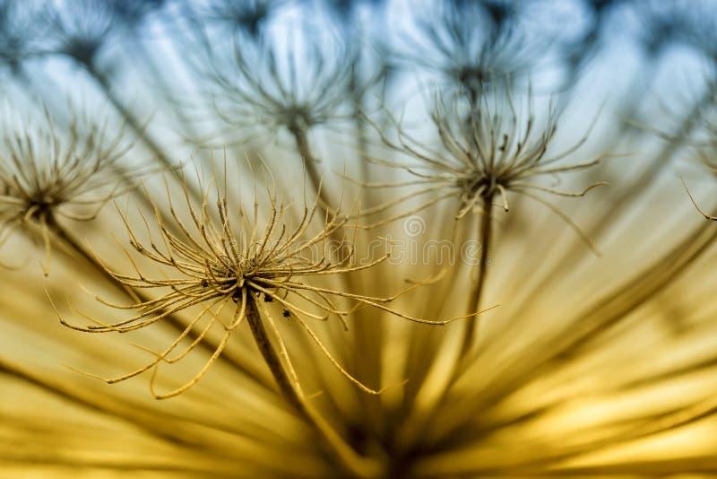Torrt paraply hogweed Heracleum Härligt ljust filtrerat foto Makro arkivbild