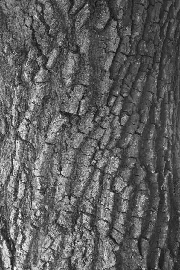 Torrt skäll för närbildträd av stam texturerad bakgrund, svartvit signal arkivbilder