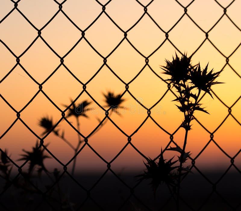 Torrt taggigt gräs bak ett staket på solnedgången arkivfoton